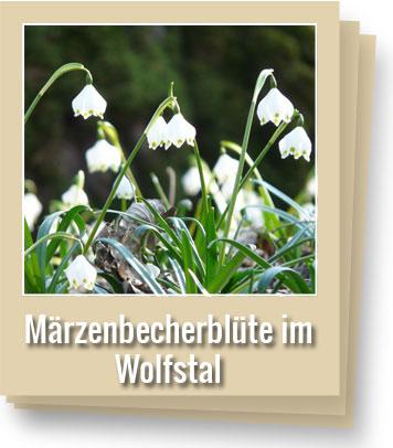 märzenbecherblüte-im-wolfstal